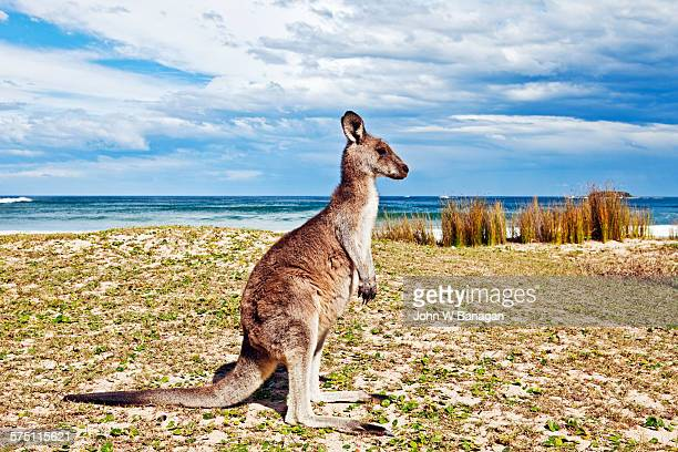 Kangaroo on beach, Australia