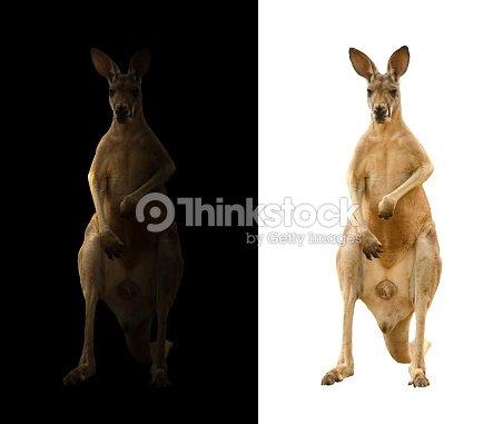 kangaroo on black and white background : Stock Photo