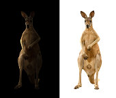 kangaroo isolated and kangaroo in the dark