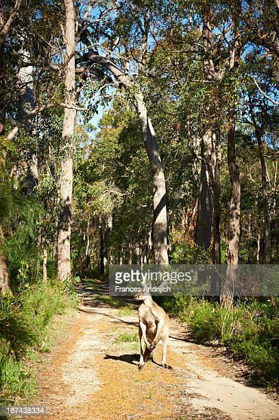 Kangaroo on Gravel Track