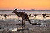 A kangaroo on the beach in Australia