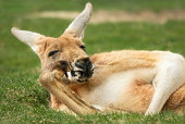 Funny outdoor portrait of a relaxed kangaroo posing like a human and looking into the camera