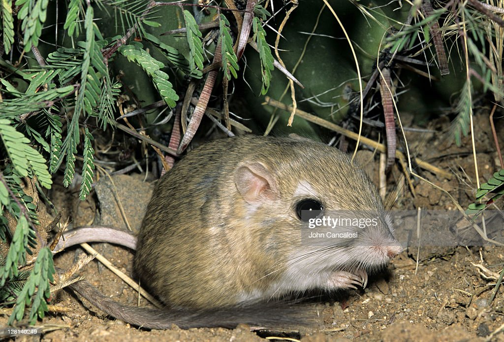 Kangaroo Rat, Dipodomys merriami, is nocturnal and has fur-lined cheek pouches, Sonoran Desert, Arizona, USA