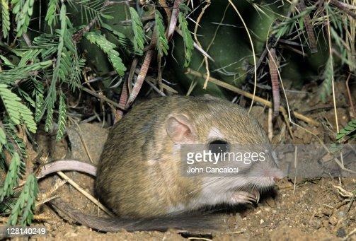Kangaroo Rat, Dipodomys merriami, is nocturnal and has fur-lined cheek pouches, Sonoran Desert, Arizona, USA