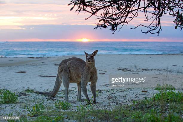 Kangaroo standing on beach, Australia