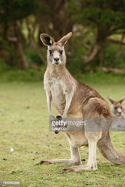 Kangaroo with a joey in her pouch and kangaroos behind
