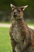 Kangaroo with food in mouth.