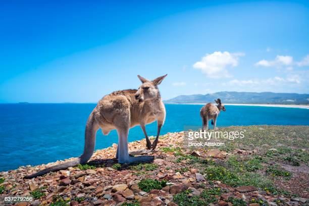 Kangaroos at Look At Me Now Headland.