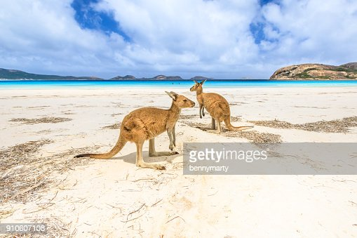 kangaroos at Lucky Bay : Stock Photo