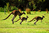 3 wild kangaroos family hopping or jumping in the green grass