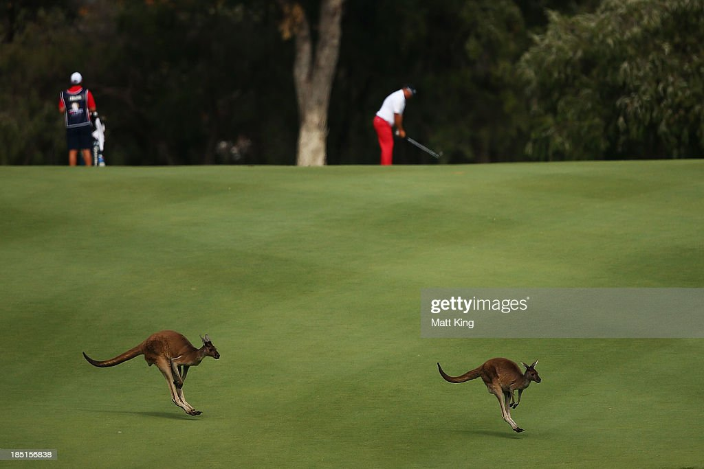 Kangaroos hop across the fairway as Justin Walters (R) of South Africa lines up a shot on the 6th hole during day two of the Perth International at Lake Karrinyup Country Club on October 18, 2013 in Perth, Australia.