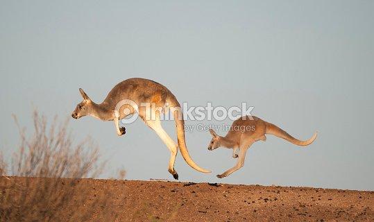 kangaroos in Sturt National Park : Stock Photo