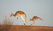 kangaroos in Sturt National Park,New South Wales, Australia