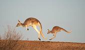 kangaroos in Sturt National Park,New South Wales, Australia