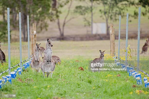 Kangaroos in vineyard
