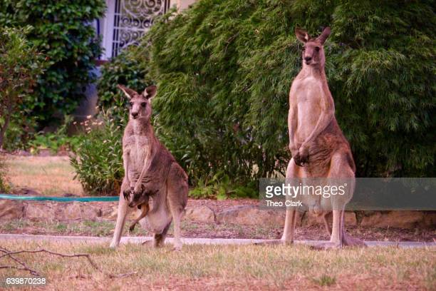 Kangaroos, male and a female with joey in pouch
