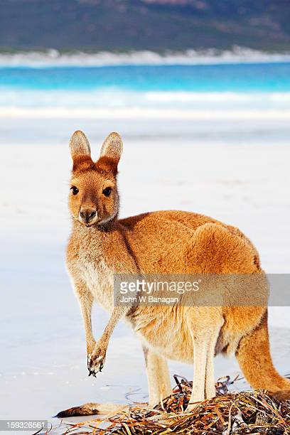Kangaroos on beach, Esperance