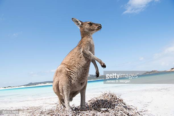 Kangaroos on the beach at Lucky Bay on the south coast of Western Australia in the Cape Le Grand National Park on February 13 2016 in Lucky Bay WA...