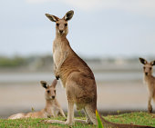 """Three kangaroos near the beach in Toorbul in Queensland, Australia"""