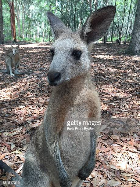 Kangaroos Relaxing On Field In Forest