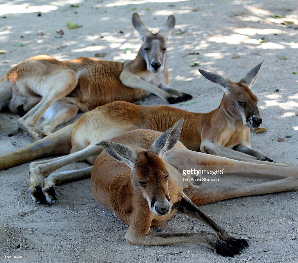 Kangaroos rest under the shade of a tree in sweltering heat at Higashiyama Zoo on July 9, 2013 in Nagoya, Aichi, Japan. Koshu City of Yamanashi reached 39.1 degrees Celsius and two-third of the 927 Japan Meteorological Agency's observation points recorded more than 35 degrees, killing three people by heat disorder.