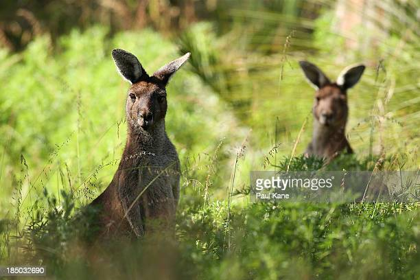 A kangaroo's sit in the rough on the 6th hole during day one of the Perth International at Lake Karrinyup Country Club on October 17 2013 in Perth...