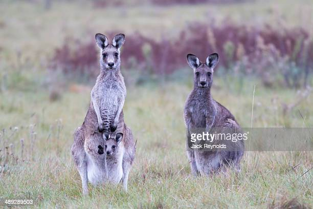 Kangaroos with joey in pouch