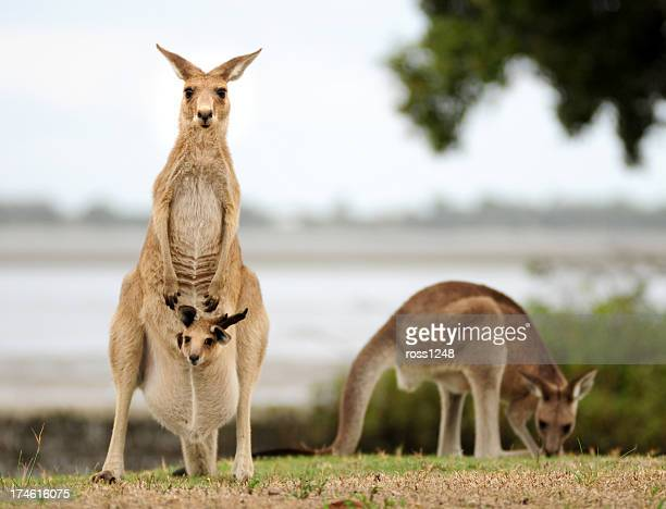 Kangaroos with Joey