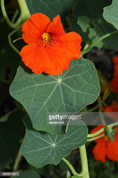 nasturtium stock photos and pictures getty images. Black Bedroom Furniture Sets. Home Design Ideas