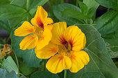 Essbare Blüten, vergessene Heilpflanze