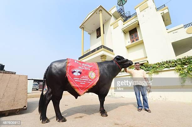 Karamveer with his champion Murrah bull Yuvraj at his house in Sonnariyan village on October 29 2014 in Kurukshetra India Weighing 1400 Kgs Yuvraj...