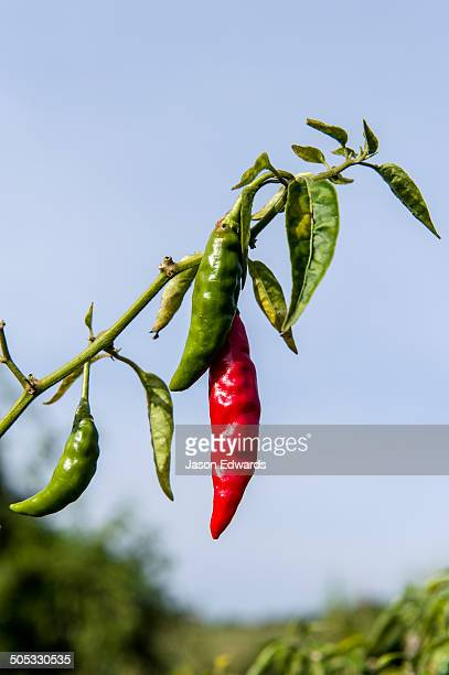 Spicy and hot flaming red chilli growing in an organic vegetable garden.