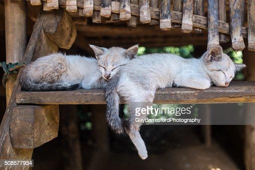 Karen hill tribe kittens sleeping : Bildbanksbilder