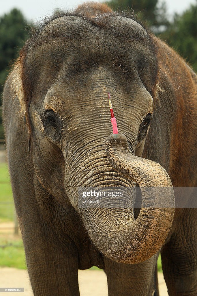Karishma, a 13 year old female Asian elephant, stands with her paint brush in her enclosure at ZSL Whipsnade Zoo on September 20, 2011 in Dunstable, England. A selection of Karishma's artwork will go on display at the Zoo this weekend to celebrate Elephant Appreciation Day.