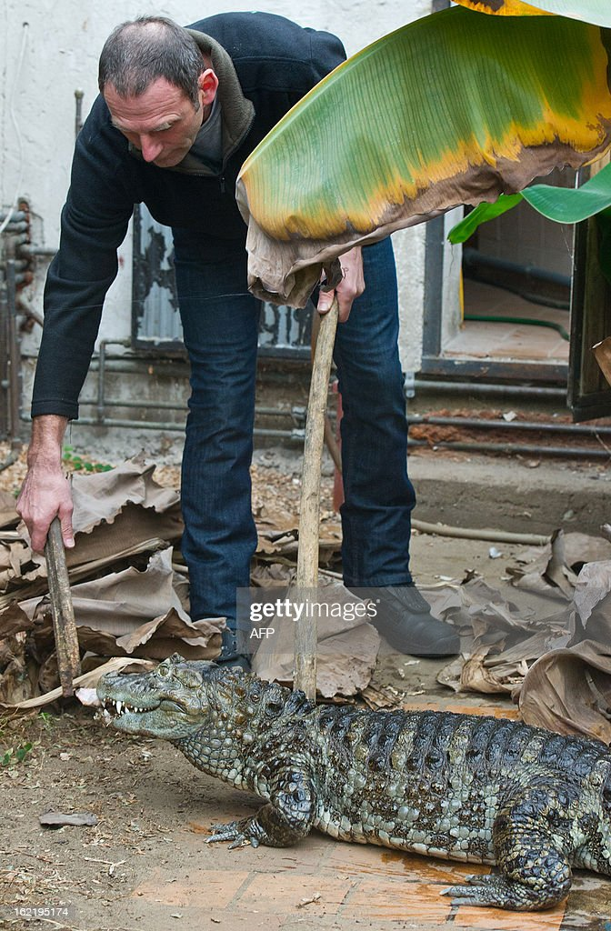 Karl-Heinz Voigt, founder of the 'Krokodilstation' (Crocodile Station) in Golzow, eastern Germany feeds a broad-snouted caiman in his terrarium on February 18, 2013. Voigt is a hobby breeder who openend his terrarium to the public in 2001, from May to September. AFP PHOTO / PATRICK PLEUL GERMANY OUT