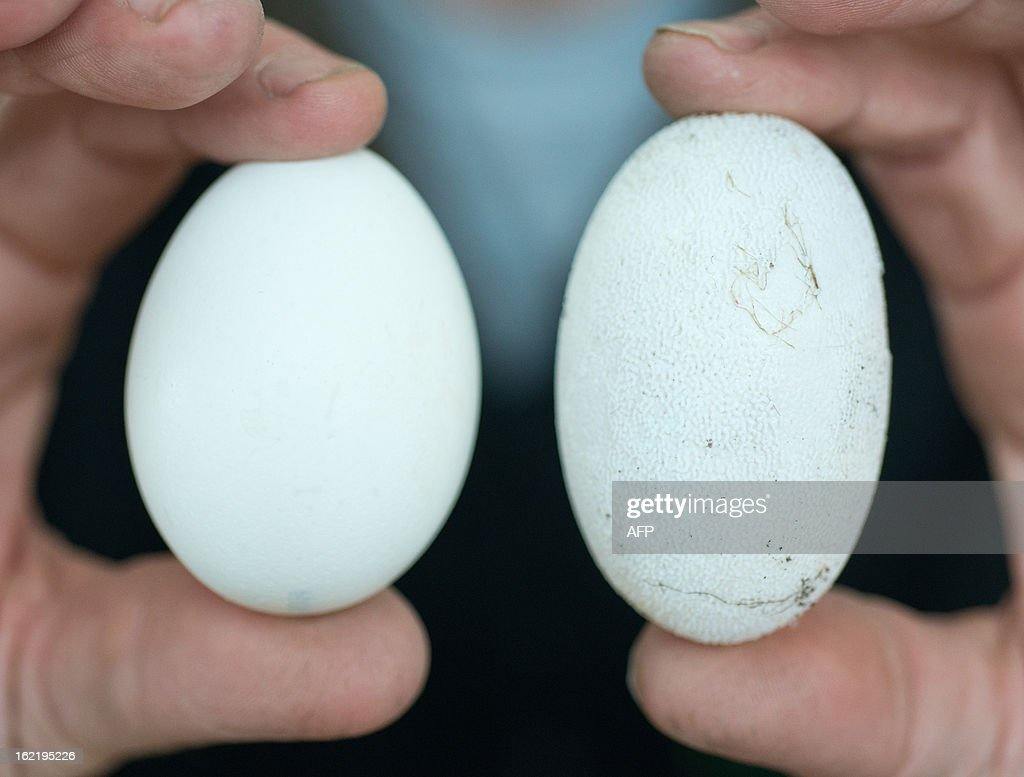 Karl-Heinz Voigt, founder of the 'Krokodilstation' (Crocodile Station) in Golzow, eastern Germany holds a chicken egg (L) and a crocodile egg (R) on February 18, 2013. Karl-Heinz Voigt is a hobby breeder who founded the Krokodilstation in 1987 and openend his terrarium to the public in 2001, from May to September.