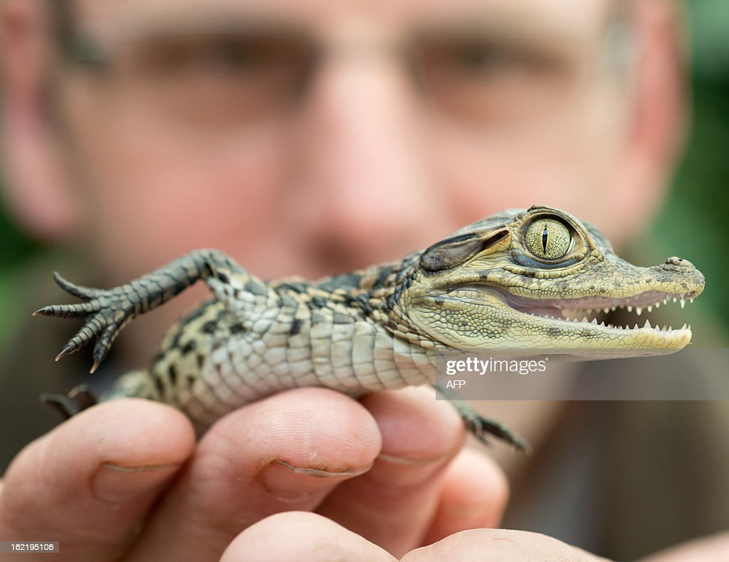 Karl-Heinz Voigt, founder of the 'Krokodilstation' (Crocodile Station) in Golzow, eastern Germany shows an 18 days old crocodile baby on February 18, 2013. Voigt is a hobby breeder who openend his terrarium to the public in 2001, from May to September.
