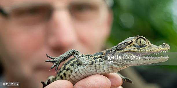 KarlHeinz Voigt founder of the 'Krokodilstation' in Golzow eastern Germany shows an 18 days old crocodile baby on February 18 2013 Voigt is a hobby...