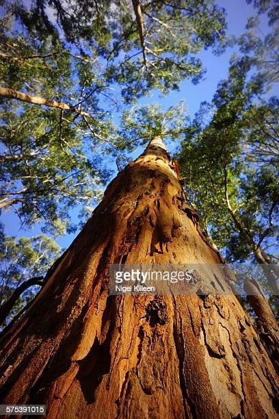 Karri tree, Western Australia