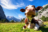 cows at the karwendel mountains in austria