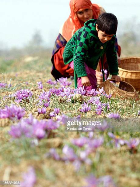 Kashmiri child helps her mother in picking saffron flowers from a saffron field on October 29 2013 in Pampore some 25 km south of Srinagar India...