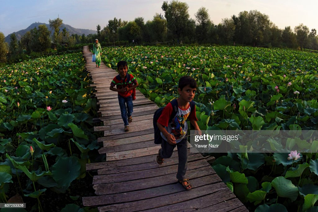 Kashmiri children walk on the bridle path made over the floating lotus garden in Dal lake on August 22, 2017 in Srinagar, the summer capital of Indian administered Kashmir, India. Lotus flowers are in full bloom in ecologically rich Dal Lake. The flowers and leaves rise on their slender stalks three or four feet from the surface of the lake in the months of July and August. Its root, Nadru or Nelumbo nucifera, is a savoured delicacy of Kashmir people and fetches over $7,920,164 (50 Crore INR) annually for vegetable dealers.