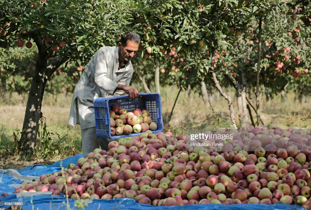A Kashmiri farmer picks fresh apples from a tree in an orchard in Budgam, on October 5, 2017 some 20 kilometers from Srinagar, India. Apples from Kashmir are famous in South Asia and the horticulture is one of the backbones of Kashmir's economy, employing thousands of people direct and indirectly. From the mid-September growers across Kashmir region start harvesting different varieties of apple, and season goes till mid-November.