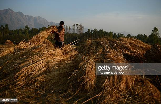 A Kashmiri farmer stacks hay in a field after harvest on the outskirts of Srinagar on October 62015Agriculture and horticulture are the main sources...