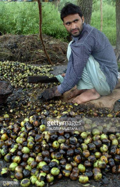 Kashmiri farmer uses a knife to remove the skin from a walnut in Srinagar 01 September 2006 in preparation for the domestic and overseas market Each...