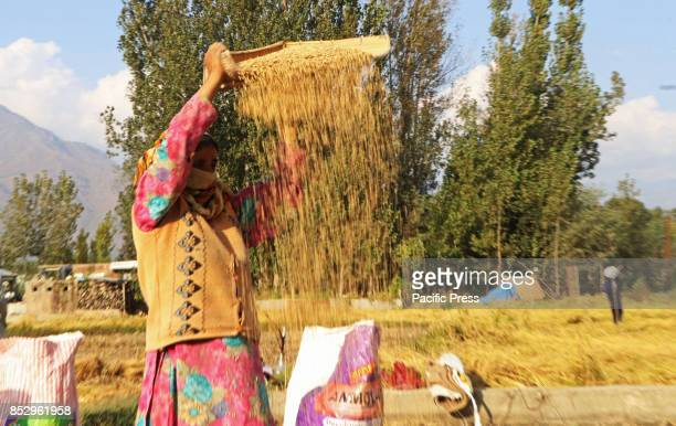 Kashmiri farmer winnows while harvesting rice from a field in tral south of Kashmir Agriculture is the main source of food income and employment in...