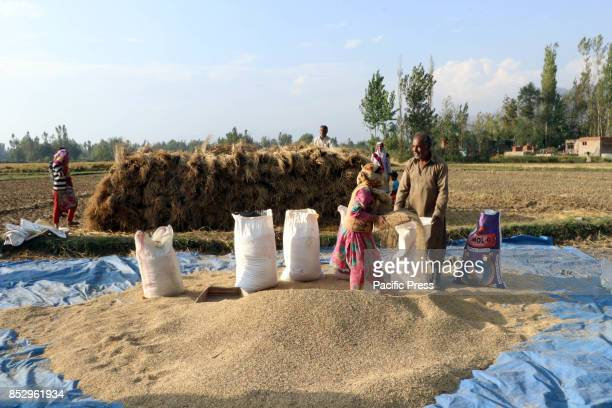 Kashmiri farmers fill bags in his field while harvesting rice from a field in tral south of Kashmir Agriculture is the main source of food income and...