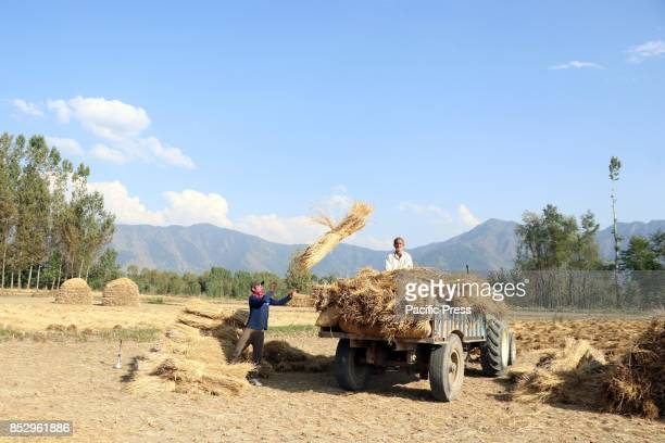 Kashmiri farmers harvest rice from a field in tral south of Kashmir Agriculture is the main source of food income and employment in rural areas