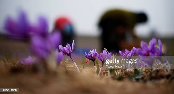 Kashmiri farmers pick saffron flowers in a farm on November 05 2012 in Pampore 20 km south of Srinagar the summer capital of Indian administered...