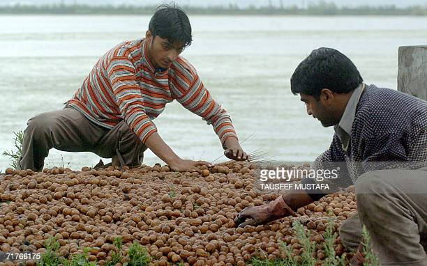 Kashmiri farmers sort through walnuts in Srinagar 01 September 2006 in preparation for the domestic and overseas market Each year fresh and dry...